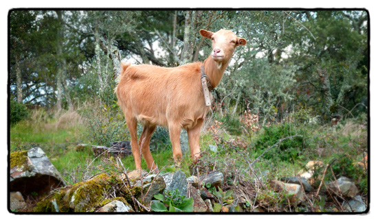 goat_0
