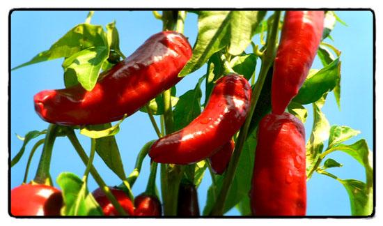 malagueta-chilis
