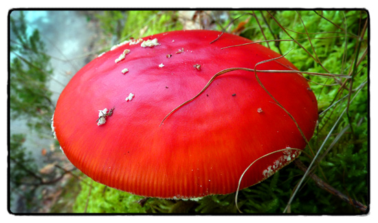 mother-fly-agaric