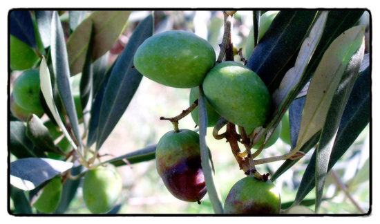 olives on the tree