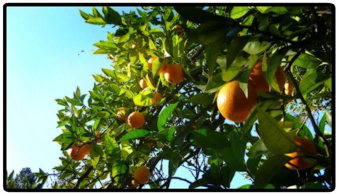 orangetree.jpg
