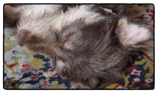 sleeping_wookie