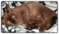 15-week-brown-burmese