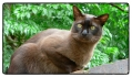 burmese-cat-portugal