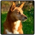 dingo-in-the-sun.jpg
