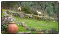 sheep_0