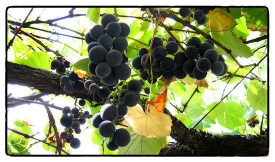 vines3