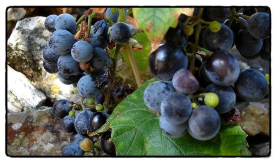 morangueiro vines