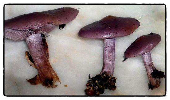 wood-blewits