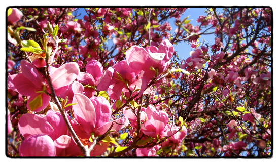 pink magnolia in spring bloom