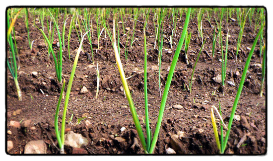 planting out spring onions
