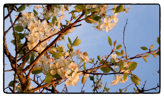pear blossom in warm afternoon light